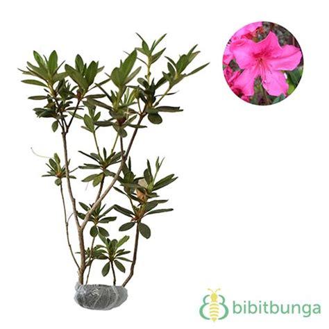 Tanaman Bunga Azalea Pink Tumpuk tanaman azalea pink tumpuk bibitbunga