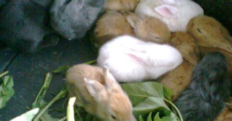 Harga Makanan Kelinci Hay makanan kelinci aaxs rabbit kebumen