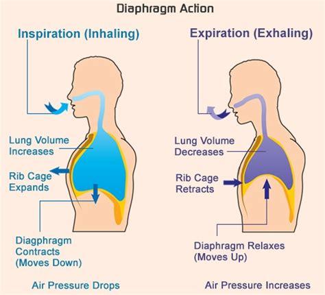 inhalation diagram respiratory system facts