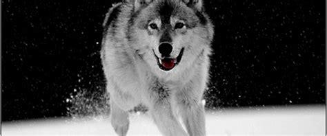 imagenes en blanco y negro de lobos 30 incre 237 bles fondos de pantalla en blanco y negro para