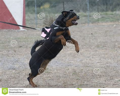 are rottweilers aggressive aggressive rottweiler stock photo image of leash 35291154