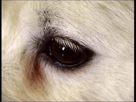 golden retriever droopy macro of a sleepy droopy golden retriever puppy s left eye hd stock footage