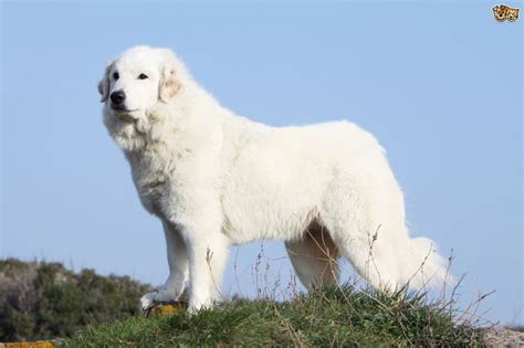 great pyrenees dogs the origins of the great pyrenees breed pets4homes