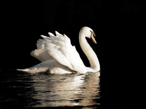 desk top wallpaper swan wallpapers hd pictures one hd wallpaper pictures