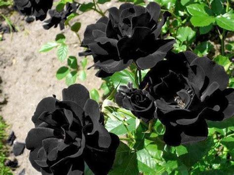 imagenes de flores negras reales las rosas de halfeti las 250 nicas rosas negras que existen