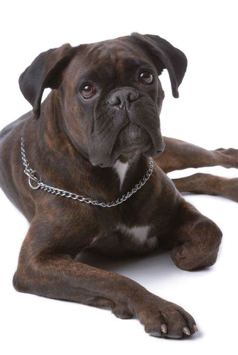 99 best images about bulldogs pugs and boxers on pug 152 best boxer dogs images on boxer puppies boxer dogs and boxer