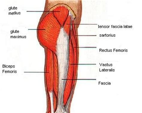 hip flexor diagram hip muscles pictures and exercises