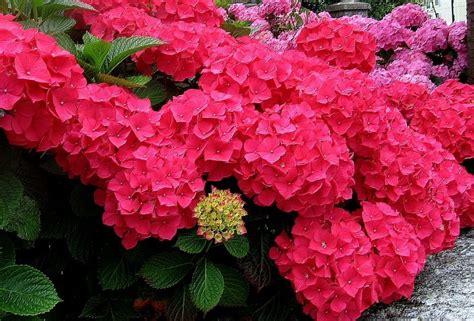imagenes flores hortensias fotos de hortensias