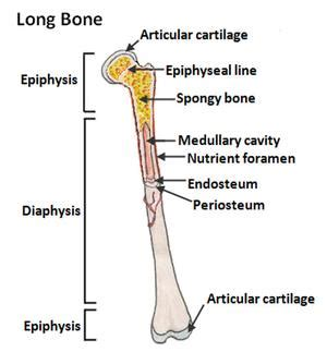 middle section of a long bone epiphyseal plate national library of medicine pubmed