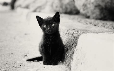 black kitten wallpaper 1680x1050 lonely black kitten desktop pc and mac wallpaper
