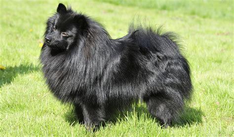 german spitz puppy german spitz breed information