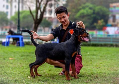 rottweiler competition national canine competition to take place in hanoi next week tuoi tre news