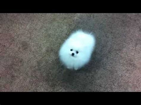 luxury puppies pomeranian batman 10 weeks doovi