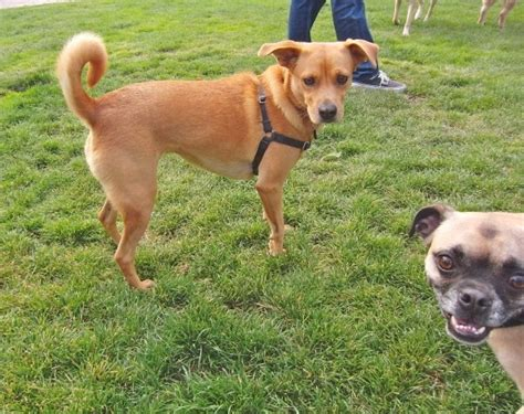 labrador pug mix day lab basenji mix and pug mix the dogs of san franciscothe dogs of