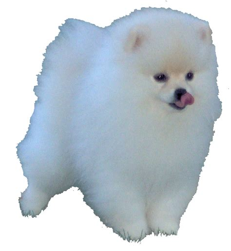 what colors do pomeranians come in pomeranian information