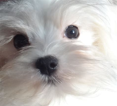 how much are maltese puppies maltese info holistically raised puppies