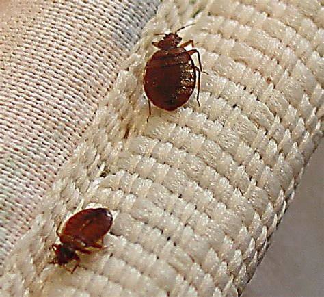 can bed bugs come from outside affordable luxury eco tent for sale with low price