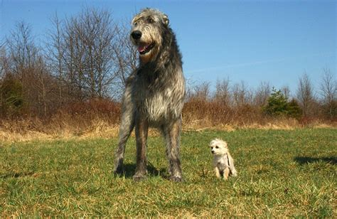 Roman Shades Top Down - know about irish wolfhound know about dog