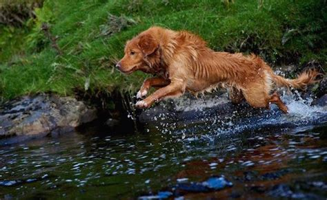golden retriever rescue ns scotia duck tolling retriever or toller originated in scotia breeds