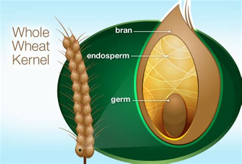 wheat seed diagram simple secrets to portion and healthy in