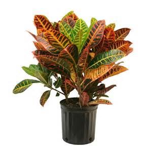 Delray plants croton petra in 8 3 4 in pot 10croton the home depot