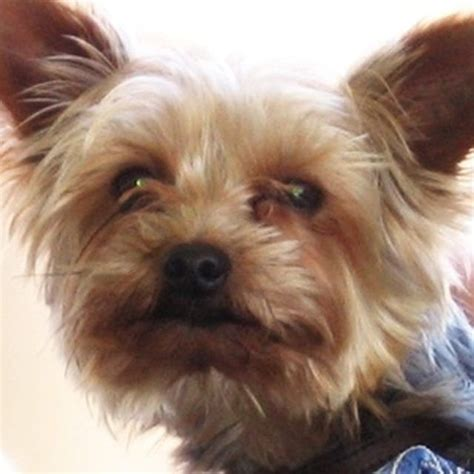 yorkie eye infection 17 best images about pets on for dogs pets and pet grooming