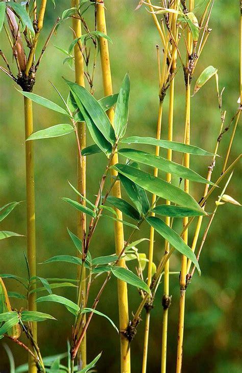 bambusa multiplex golden goddess sloat garden center