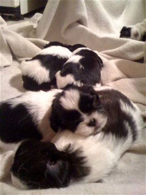 shih tzu puppies for sale in maryland dogs for sale puppies for sale aberdeen ads aberdeen dogs for sale breeds picture