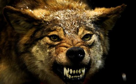 Angry Wolf wolf animals angry wallpapers hd desktop and mobile