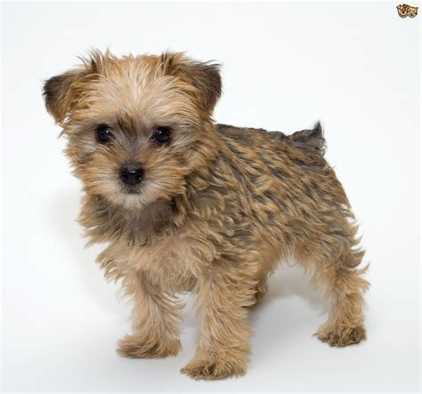 schnoodle puppy all about the schnoodle pets4homes