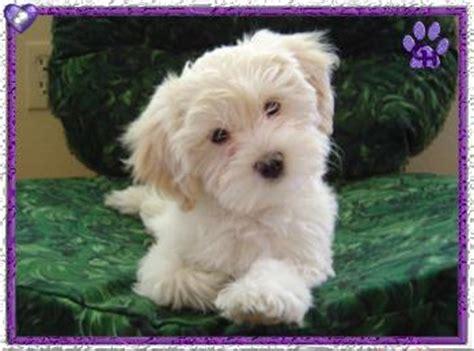 grandview havanese havanese puppy gallery enumclaw wa grandview havanese