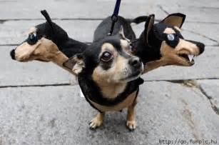 funny pet picture cerberus dog costume