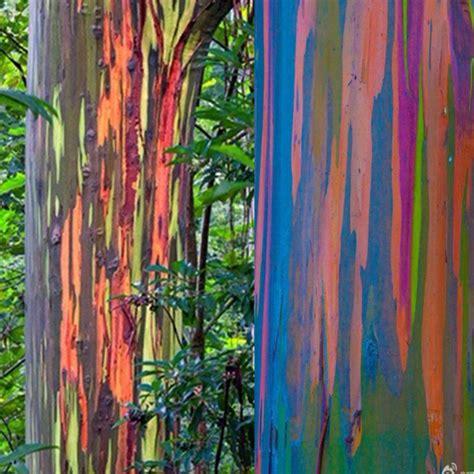 rainbow tree decorations egrow 40pcs rainbow eucalyptus seeds garden eucalyptus