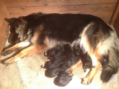 german shepherd puppy 6 weeks german shepherd puppies 6 weeks for sale in tacoma washington classified