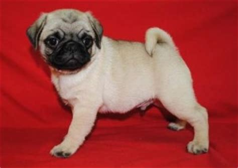 puppies for sale in las cruces nm the about teacup puppies breeds picture