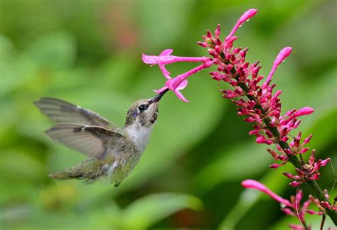 How To Attract Hummingbirds Hummingbird Garden Flowers