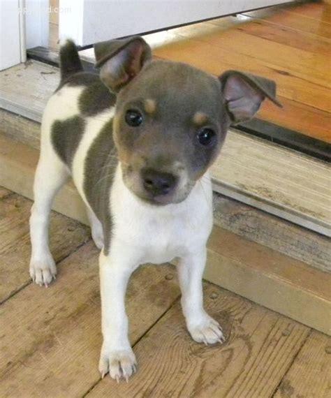 Sale Decker Dekker Fox Mini Size and white rat terrier the best rat of 2017