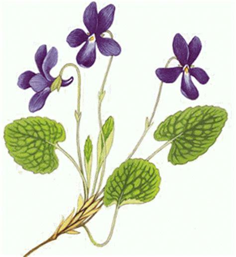 imagenes de flores llamadas violetas infinito particular a linguagem das flores violeta