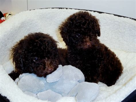 chocolate poodle puppies for sale adorable pedigree chocolate poodle puppy chester