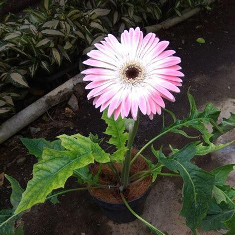 Tanaman Pink tanaman gerbera pink salem bibitbunga