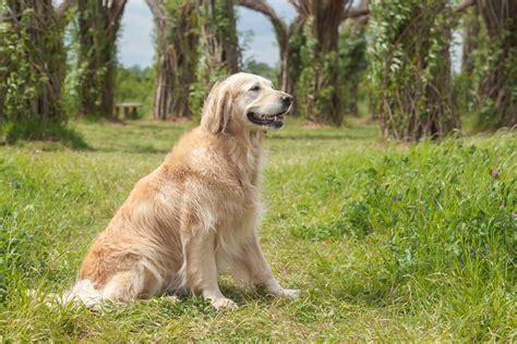 golden retriever species top 10 best dogs for