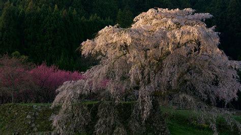 黎明の一本桜 奈良 又兵衛桜 癒しの風景 朝日に染まる桜色 cherry tree in a matabeisakura 音のスケッチ71 ryuju