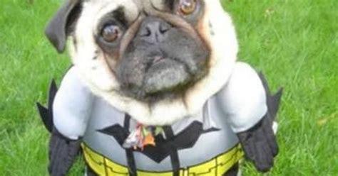batman pug picture batman pugs batman