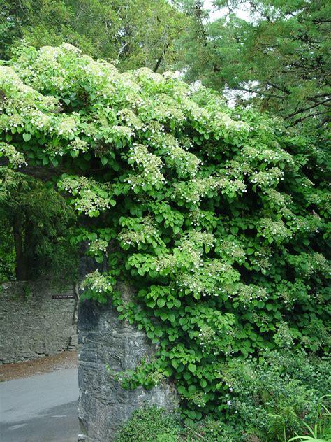 climbing vines climbing hydrangea garden housecalls