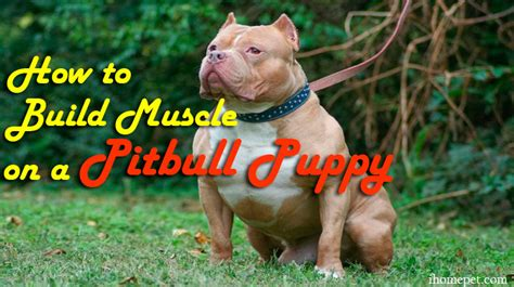 how to build on a pitbull puppy tips on how to build on a pitbull puppy ihome pets