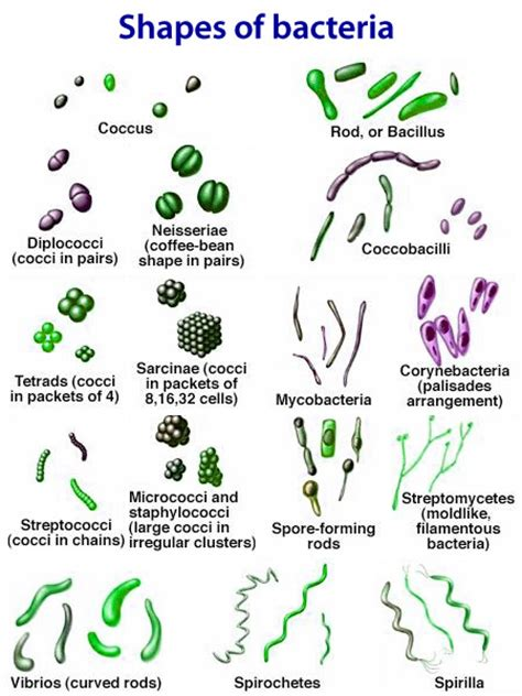 types of bacteria chart pictures to pin on pinsdaddy