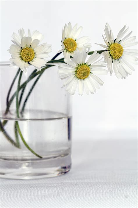 Daisies In A Vase by Free Stock Photo Of Daisies Flowers Still