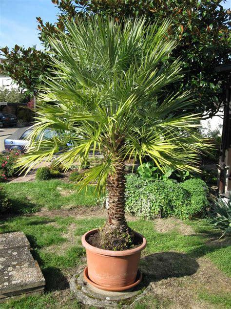 Yucca Palme Krankheiten 4812 by Brauche Hilfe Bei Der Identifizierung Einer Palme Seite 1