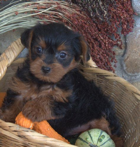 black and brown yorkie the world s catalog of ideas