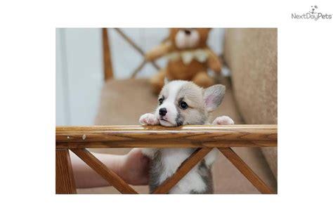 corgi puppies for sale las vegas corgi pembroke puppy for sale near las vegas nevada 83a0371d 42b1
